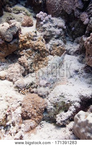 Camouflaged Scorpion Fish On The Coral Background