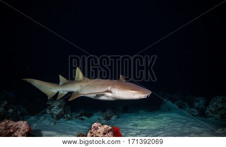 Bonnethead shark hunting on sandy bottom at night