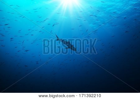 Silhouette of shark hunting smalls fish in beautiful deep blue water with sunrays