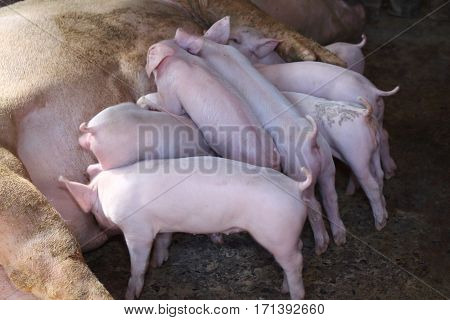 Pork eating several small white milk farms in the country.