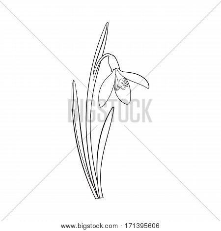 Single galanthus, snowdrop spring flower with stem, leaves, sketch vector illustration isolated on white background. hand drawing of galanthus, snowdrop, spring flower in vertical position