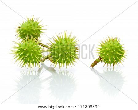 green chestnuts on a white background with reflection. horizontal photo.