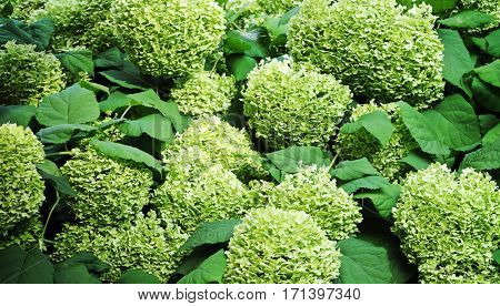 floral background of green hydrangea flowers
