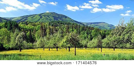 spring orchard with yellow flowers,Velka Stolova with Radhost hill on the background and nice blue sky with few clouds in Moravskoslezske Beskydy mountains near Kuncice pod Ondtejnikem in Czech republic