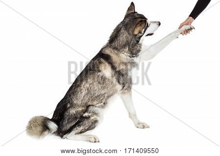 Alaskan Malamute sitting in front of white background. The dog performs a command. Give paw