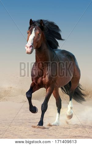 Beautiful bay horse with long mane run gallop in dust