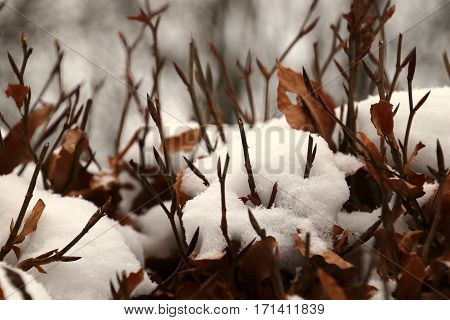Beech hedge with newly fallen snow in February