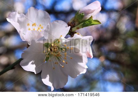flowering almond tree by sunshine spring time