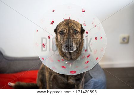 Dog with protective collar, sad dog, shepherd mix