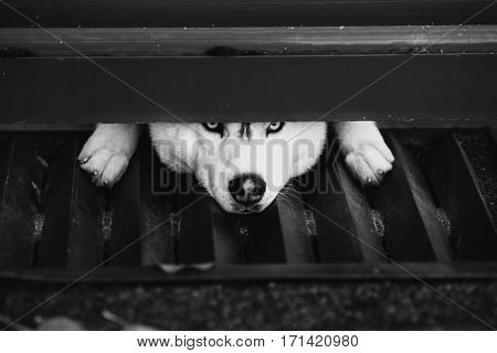 Black and white art photography monochrome gray and white husky looking into the camera under a fence sad dog. A pet