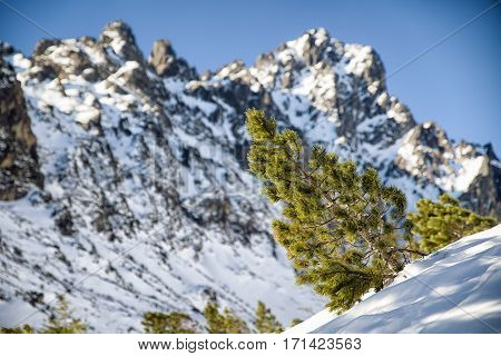 Creeping pine in High Tatras mountains and peaks on the backround