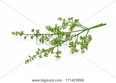 Siamese neem tree Nim Margosa Quinine (Azadirachta indica A. Juss. Var. Siamensis Valeton) isolated on white background poster