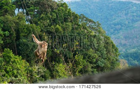 monkey climbs on the stretched ropes against the backdrop of mountain forests.