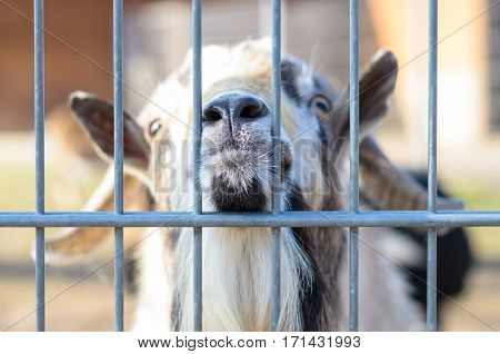 Goat Looking Through Fencing