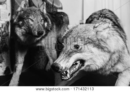 black and white art photography monochrome muzzle the wolf close-up. Scary wild animal close up. Wolf Eyes and teeth. Scarecrow animal.