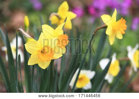 Beautiful scenery of daffodil flowers,yellow with orange flowers blooming in the garden in spring