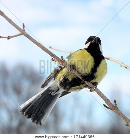 The titmouse sits on a thin branch against the background of the blue sky