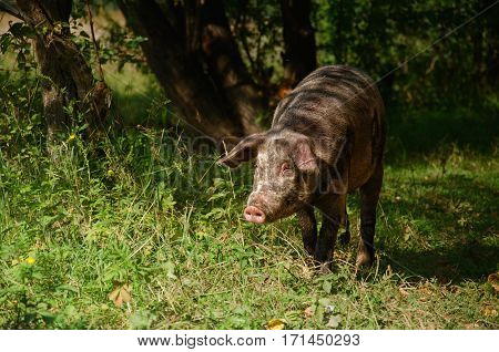 the pig walks in Green Park in Altai