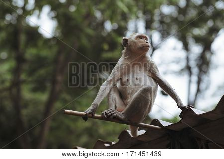 Monkey sits on the roof and looks ahead