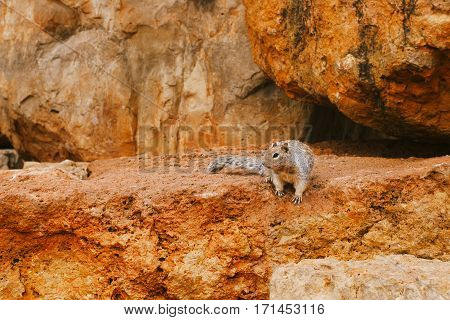 Rocky Ground Squirrel on a rock in national park
