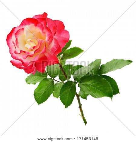 Fresh red rose isolated on white background. Top view.