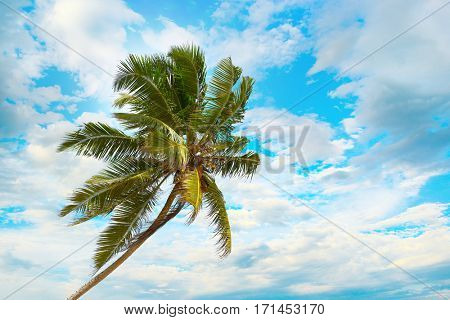 Tilted coconut palm on background the blue sky with white clouds.