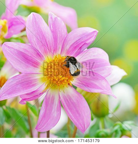Large black bumble bee collects nectar on dahlia.