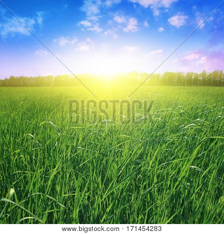 Field of green grass at sunset.