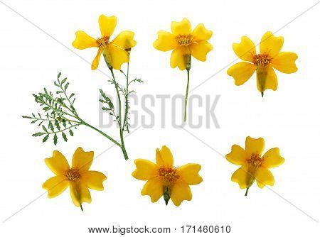Pressed and dried flower marigold on stem with green leaves isolated on white background. For use in scrapbooking floristry (oshibana) or herbarium.