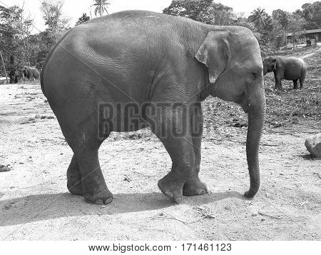 Asian elephant in its natural habitat. Black and white.