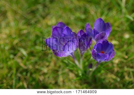 crocus, new spring flowers with sunbeams