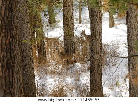 Whitetail deer in the forest during winter