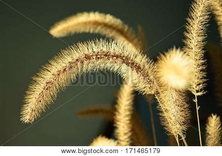 Arching Dried Golden Fountain Grass Glowing in sunlight