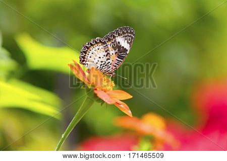 Beautiful tropical butterfly at a beautiful flower in Malaysia, Asia.