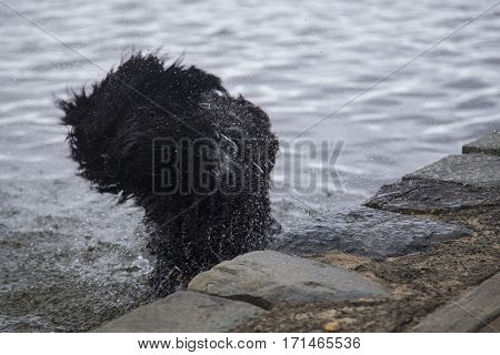 Shaggy dog shaking off on the bank of a river...