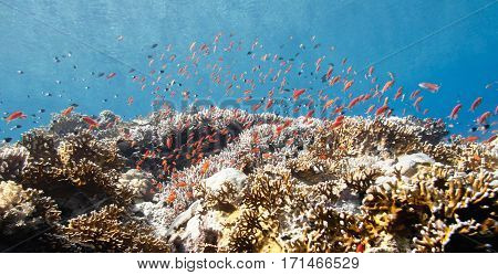 Abundance Of Brightly Colored Anthias Fish Swimming Over Corals.