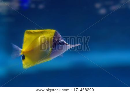 Longnose butterflyfish or Forcipiger longirostris in aquarium