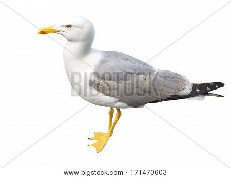 the big seagull on a white background