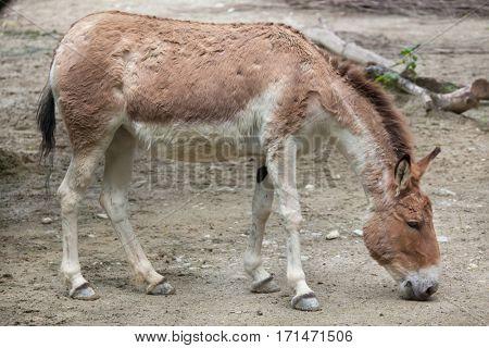 Eastern kiang (Equus kiang holdereri).