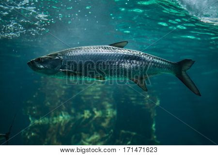 Atlantic tarpon (Megalops atlanticus). Marine fish.