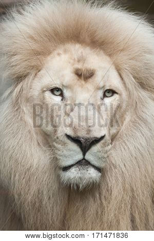 Male white lion. The whitelion is a colour mutation of the Transvaal lion (Panthera leo krugeri), also known as the Southeast African lion.