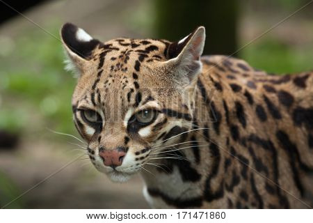 Ocelot (Leopardus pardalis), also known as the dwarf leopard.