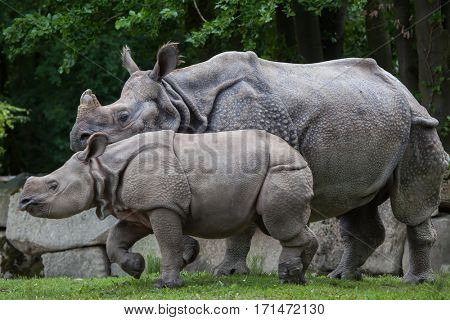 Newborn Indian rhinoceros (Rhinoceros unicornis) with its mother.
