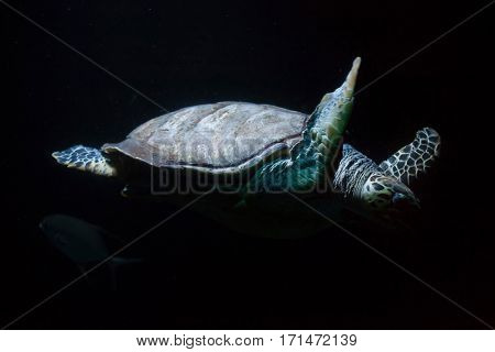 Hawksbill sea turtle (Eretmochelys imbricata).