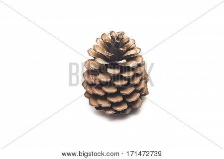 cedar pine cone isolated on white background closeup