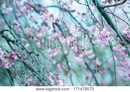Spring shidarezakura (weeping cherry) cherry blossom with early spring blue green soft pastel background. Intentionally shot with shallow depth of field.