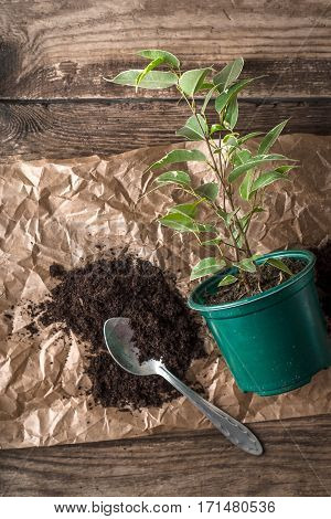 Ficus in the flower pot on the wooden background vertical