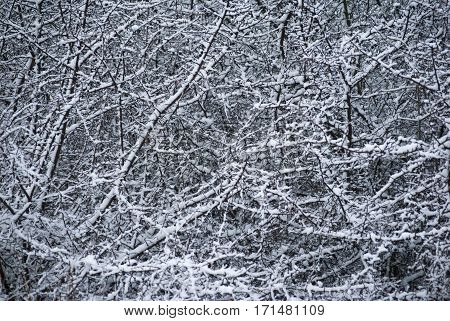 Contrast Background Pattern Of Bare Branches Covered With Snow