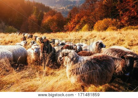 flock of sheep on beautiful mountain meadow