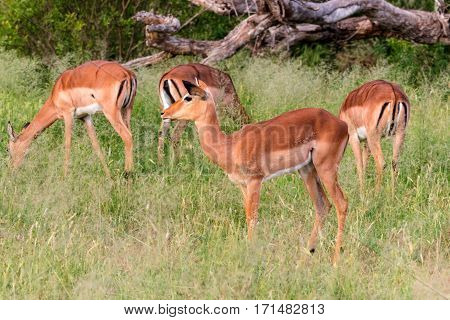 Herd of impala (Aepyceros melampus) standing in high grasses Kruger National Park South Africa